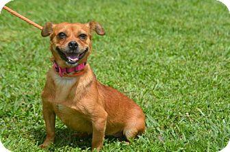 Dachshund/Pug Mix Dog for adoption in Doylestown, Pennsylvania - Laura