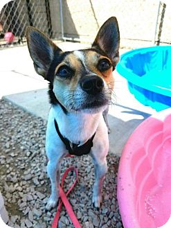 Chihuahua/Jack Russell Terrier Mix Dog for adoption in River Rouge, Michigan - Precious