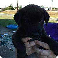Adopt A Pet :: Thom - Gilbertsville, PA