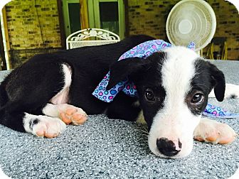 Pointer/Hound (Unknown Type) Mix Puppy for adoption in Wharton, Texas - Bubba