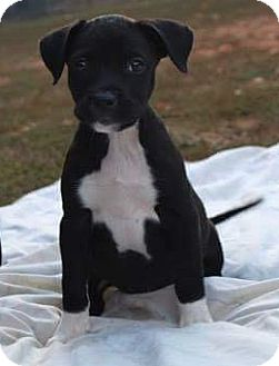 Pit Bull Terrier/Boxer Mix Puppy for adoption in Pompton Lakes, New Jersey - Pitty Pumpkin 3