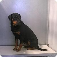 Rottweiler Mix Puppy for adoption in Terre Haute, Indiana - JOSIE