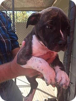 Pit Bull Terrier Puppy for adoption in Maysville, Kentucky - Addison