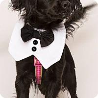 Cocker Spaniel Mix Puppy for adoption in Sherman Oaks, California - Blackie