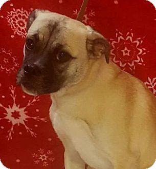Pug/Beagle Mix Puppy for adoption in Oswego, Illinois - Kristopher