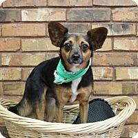 Adopt A Pet :: Whiskey - Benbrook, TX