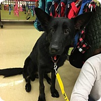 Adopt A Pet :: Lancelot - Morrisville, NC