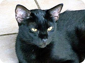Domestic Shorthair Cat for adoption in Palm City, Florida - Tatum