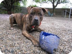 American Pit Bull Terrier/Mastiff Mix Dog for adoption in Providence, Rhode Island - Roman