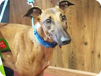 "Greyhound Dog for adoption in Smyrna, Tennessee - LB's Crackin Up ""Ellie"""