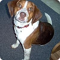 Adopt A Pet :: Ginger - Novi, MI