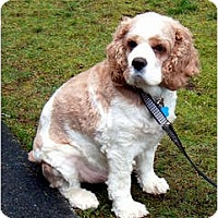 Adopt A Pet :: Cooper - Tacoma, WA
