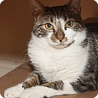 Domestic Shorthair Cat for adoption in Ashland, Massachusetts - Luca