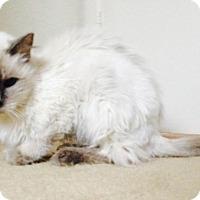 Adopt A Pet :: Ling Ling - Gilbert, AZ