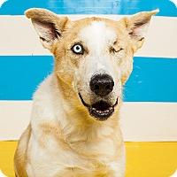 Adopt A Pet :: Houdini - Houston, TX
