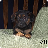 Adopt A Pet :: Suri - Southington, CT