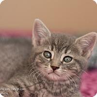 Adopt A Pet :: Dewey - Fountain Hills, AZ