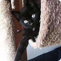 Adopt A Pet :: Bagheera - Denver, CO