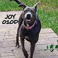 English Shepherd/Pit Bull Terrier Mix Dog for adoption in Spring, Texas - Joy