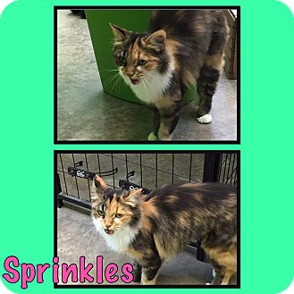 Domestic Mediumhair Cat for adoption in Bryan, Ohio - Sprinkles