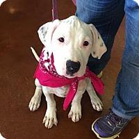Adopt A Pet :: Lulu MD - New York, NY