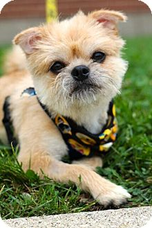 Brussels Griffon/Terrier (Unknown Type, Small) Mix Dog for adoption in Mt. Prospect, Illinois - Benton
