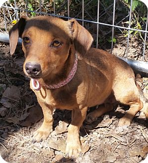 Dachshund Mix Dog for adoption in Cat Spring, Texas - Naomi