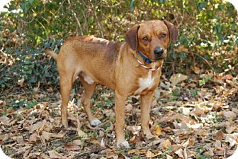 Shepherd (Unknown Type) Mix Dog for adoption in Washington, D.C. - RED SCOUT