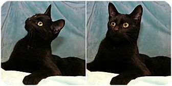 Domestic Shorthair Cat for adoption in Forked River, New Jersey - Mona