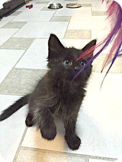 Domestic Mediumhair Kitten for adoption in Sugar Land, Texas - Cole