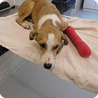 Retriever (Unknown Type)/Australian Shepherd Mix Puppy for adoption in Avon, Ohio - Champer