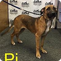 Shepherd (Unknown Type) Puppy for adoption in Waycross, Georgia - Pi