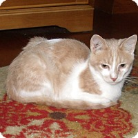 Domestic Shorthair Kitten for adoption in Acme, Pennsylvania - CERARIO
