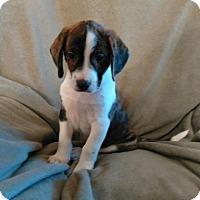 Adopt A Pet :: PUPPY RUPERT - Hagerstown, MD