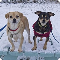 Adopt A Pet :: Milo - Bellingham, WA