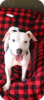 American Bulldog/Bull Terrier Mix Dog for adoption in Ocala, Florida - Maxwell