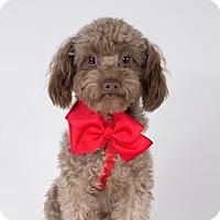 Adopt A Pet :: Pecan - St. Louis Park, MN