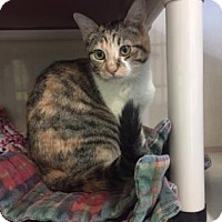 Adopt A Pet :: Angel - Fort Collins, CO