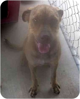 Terrier (Unknown Type, Small)/Labrador Retriever Mix Dog for adoption in Los Alamitos, California - JoJo