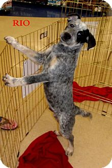 Australian Cattle Dog Mix Puppy for adoption in Silsbee, Texas - Rio