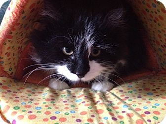 Domestic Longhair Cat for adoption in Byron Center, Michigan - Tucker