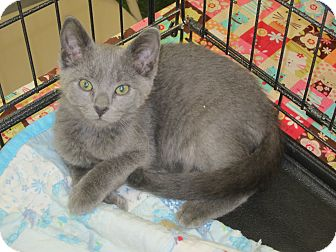 Russian Blue Kitten for adoption in Chesterfield Township, Michigan - Stella