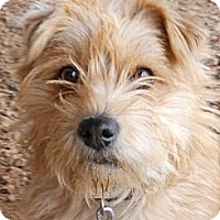 Adopt A Pet :: Spirit - dewey, AZ