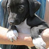 Adopt A Pet :: Oreo - Brookside, NJ