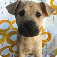 Adopt A Pet :: Dewey - Austin, TX