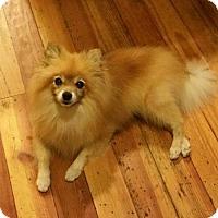 Adopt A Pet :: Josie - Harrisburg, PA