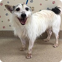 Jack Russell Terrier Mix Dog for adoption in Muscatine, Iowa - Misty