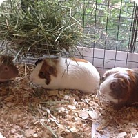 Adopt A Pet :: Pepi, Mowgli, and Oswald - Williston, FL