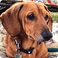 Adopt A Pet :: Howie Hazin - Houston, TX