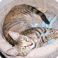 Domestic Shorthair Kitten for adoption in Scottsdale, Arizona - Julie